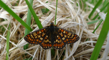 Marsh Fritillary Monitoring, 2017