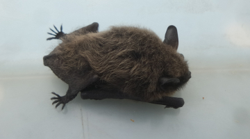 Whiskered Bat in St Erth