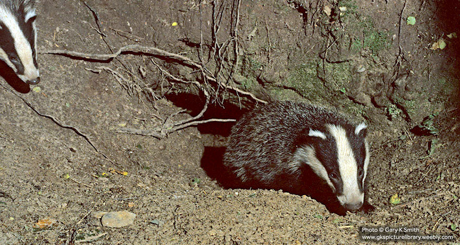 Badger Surveys Cornwall and Devon, Truro, Bodmin, Falmouth, Penzance, Helston, St Austell, Plymouth, Launceston, Liskeard and Exeter.
