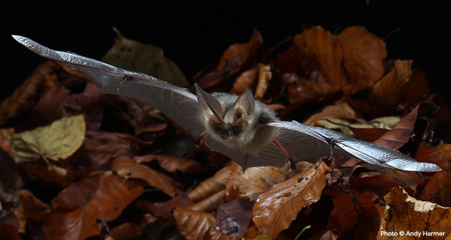 Bat Surveys: Cornwall and Devon, Truro, Bodmin, Falmouth, Penzance, Helston, St Austell, Plymouth, Launceston, Liskeard and Exeter.