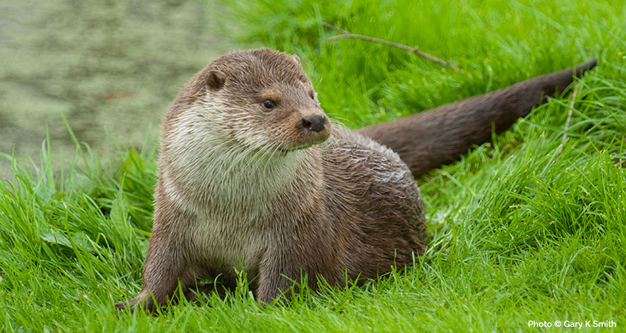Otter Survey: Cornwall and Devon, Truro, Bodmin, Falmouth, Penzance, Helston, St Austell, Plymouth, Launceston, Liskeard and Exeter.